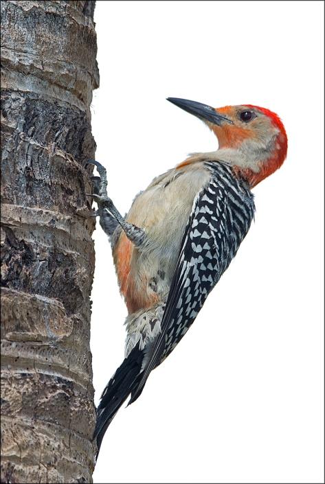 RedbelliedWoodpecker2015FB