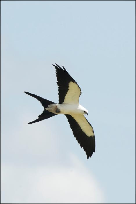 SwallowtailedKite2015FB