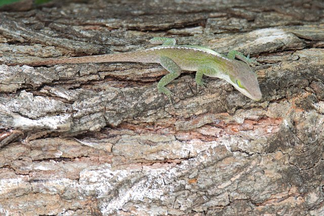 TexasLizard2015