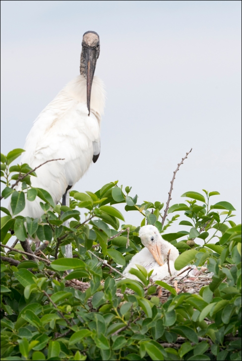 WoodStork2015FB