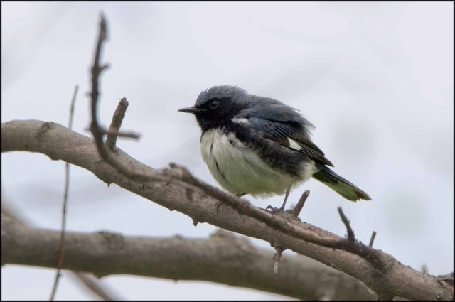 BlackthroatedBlueWarbler2015