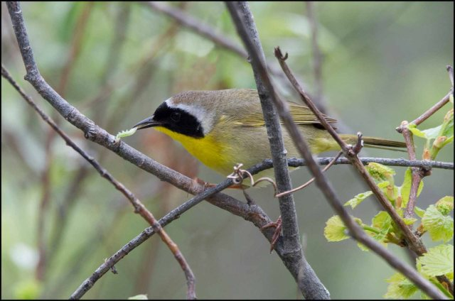CommonYellowthroat2015