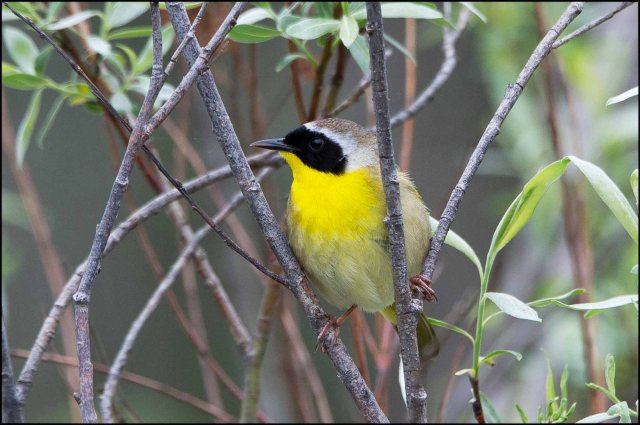 CommonYellowthroat2015B
