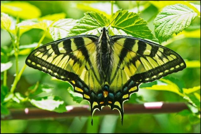 EasternTigerSwallowtail2015