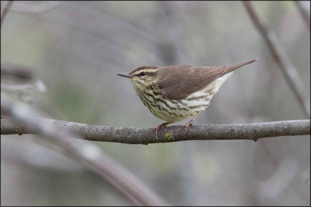 NorthernWaterthrush2015