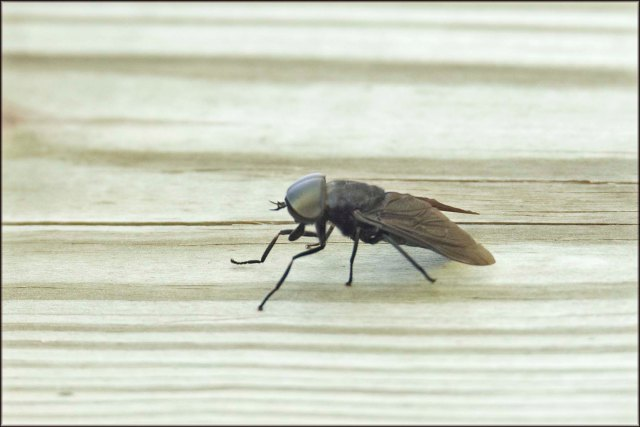 Horsefly2015