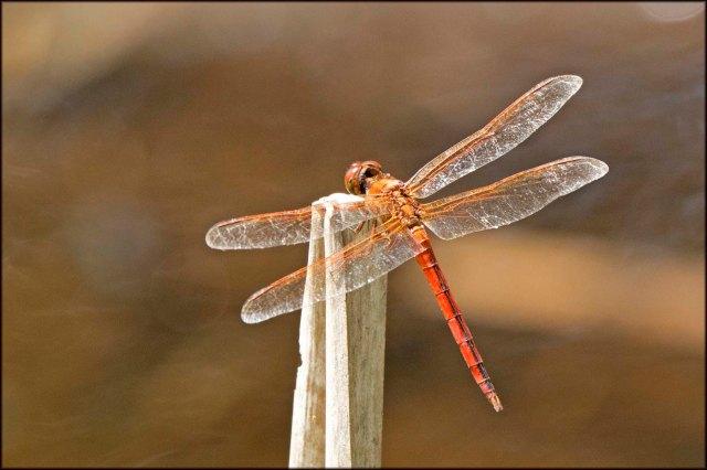 LoxahatcheeDragonfly2015