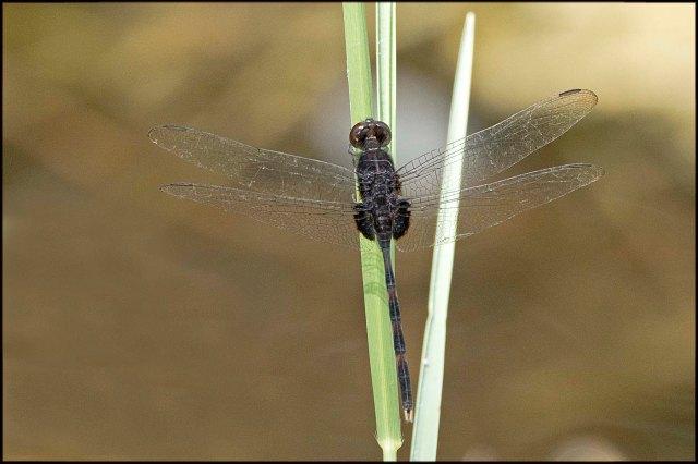 LoxahatcheeDragonfly20152
