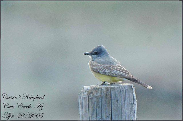 CassinsKingbird