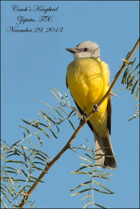 Couch'sKingbird