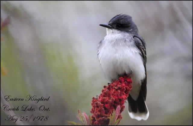 EasternKingbird