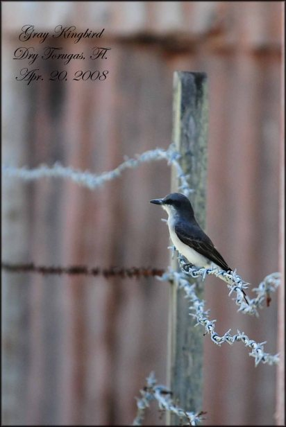 GrayKingbird