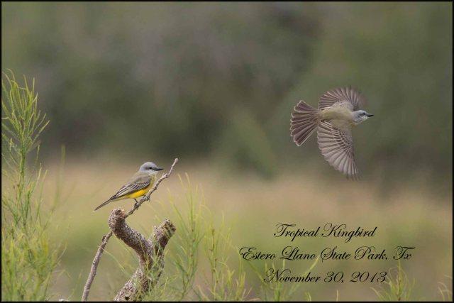 TropicalKingbird