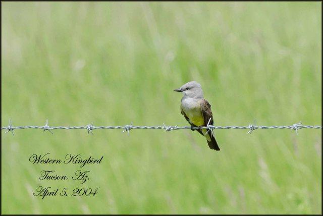 WesternKingbird