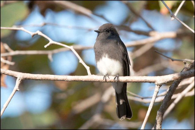 BlackPhoebe2015