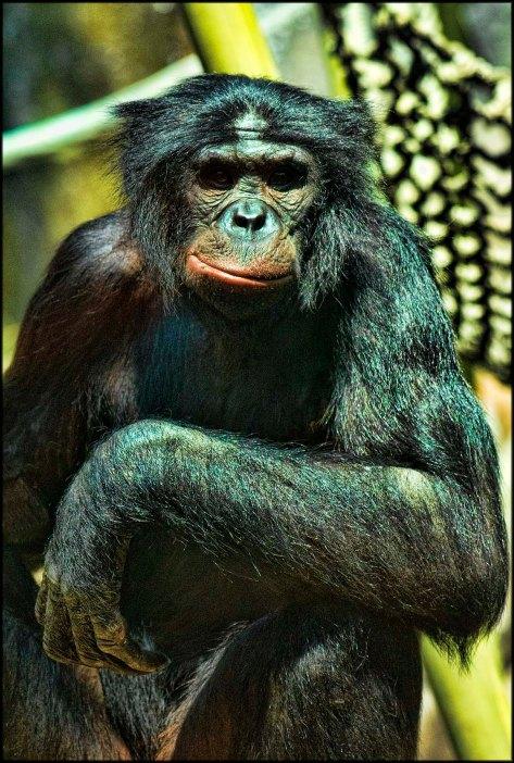 Bonobo2015