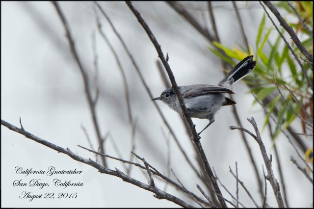 CaliforniaGnatcatcher