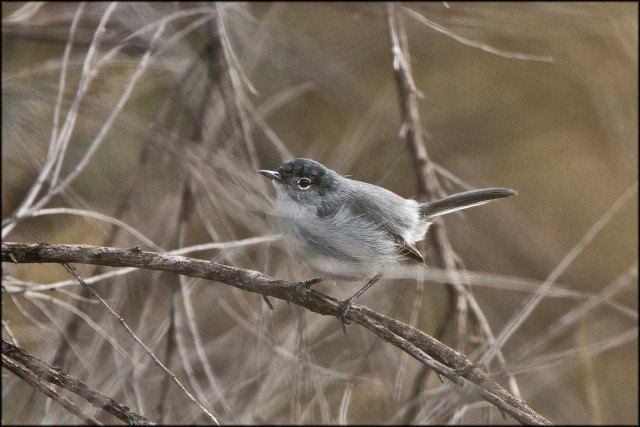 CaliforniaGnatcatcher2015