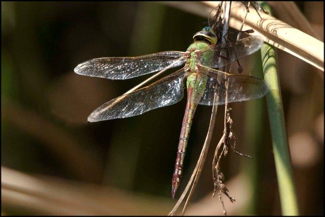 DragonflyCalifornia2015