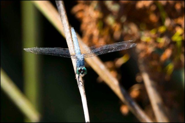 DragonflyCalifornia2015B