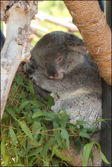 Koala2015