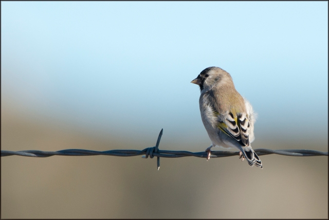 LawrencesGoldfinch2015
