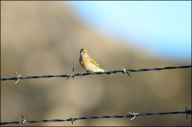 LawrencesGoldfinch2015B