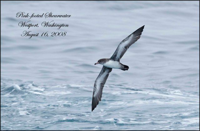 PinkFootedShearwater