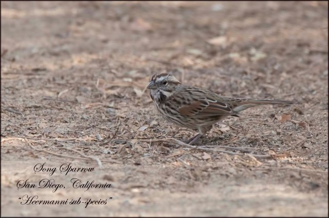 SongSparrowCalifornia