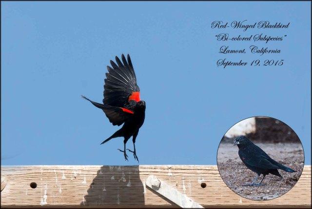 BilcoloredRedwingedBlackbird