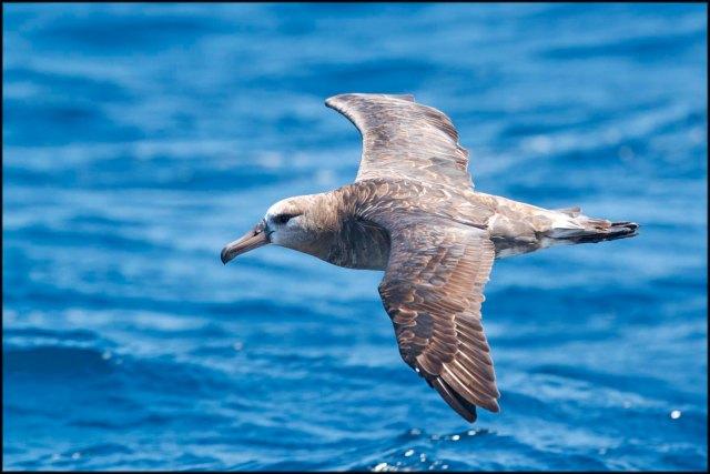 BlackfootedAlbatross2015B