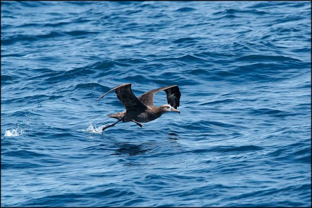 BlackfootedAlbatross2015G_1