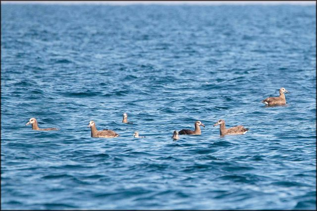 BlackfootedAlbatross2015H