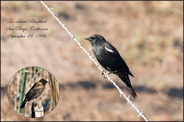 TricoloredBlackbird