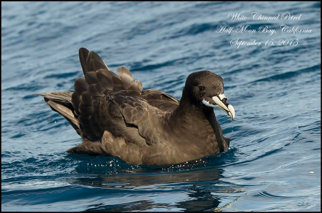 WhiteChinnedPetrel