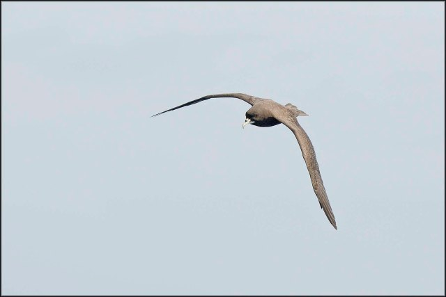 WhiteChinnedPetrel2015