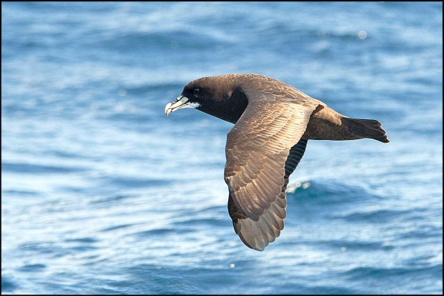 WhiteChinnedPetrel2015B