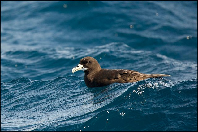 WhiteChinnedPetrel2015C