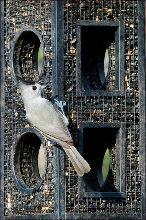 BlackCrestedTitmouse2015