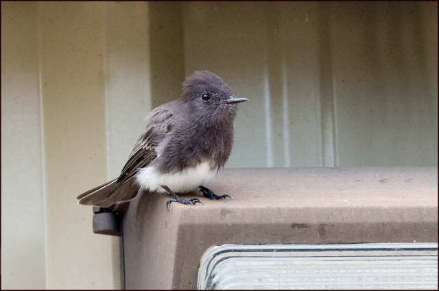 BlackPhoebe2015B
