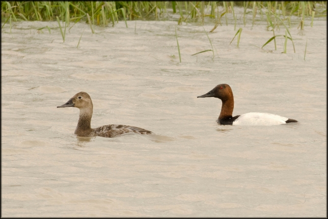 Canvasback