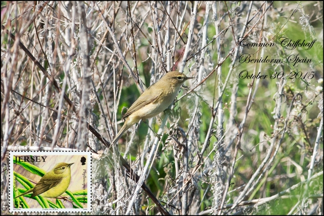 CommonChiffchaff