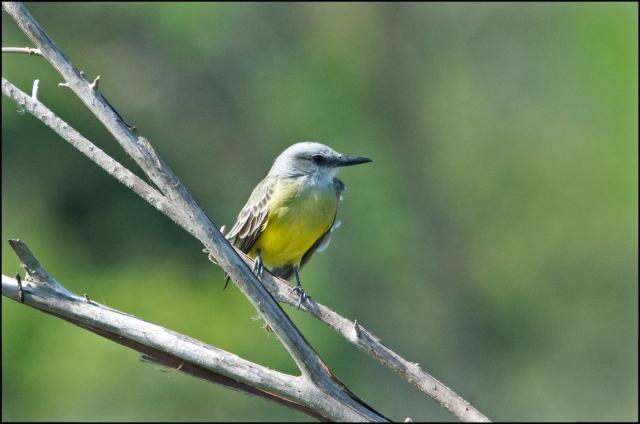 EsteroKingbird2015
