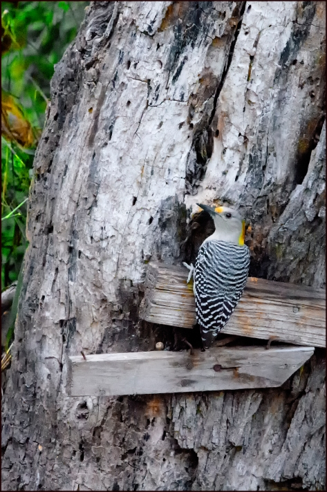 GoldenFrontedWoodpecker20152