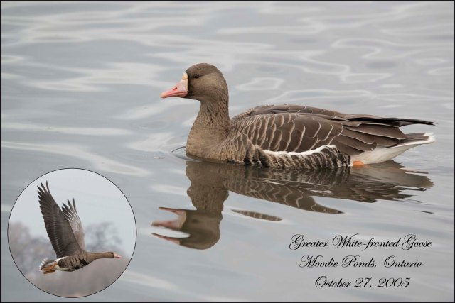 GreaterWhitefrontedGoose