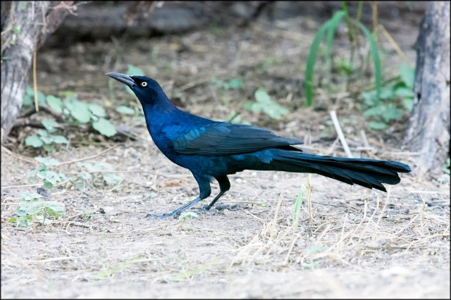 GreattailedGrackle2015