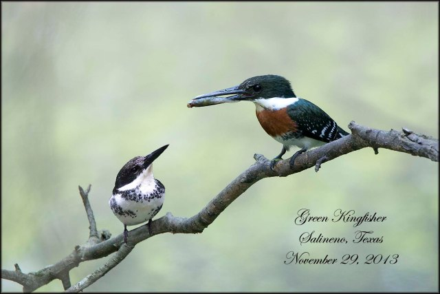GreenKingfisher