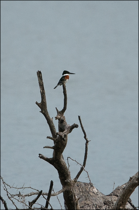 GreenKingfisher2015