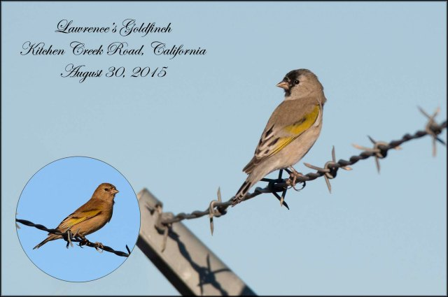 LawrencesGoldfinch