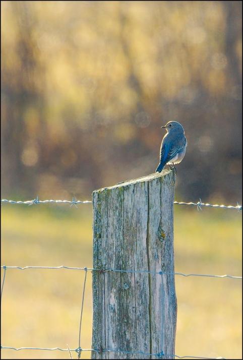 MountainBluebird2015